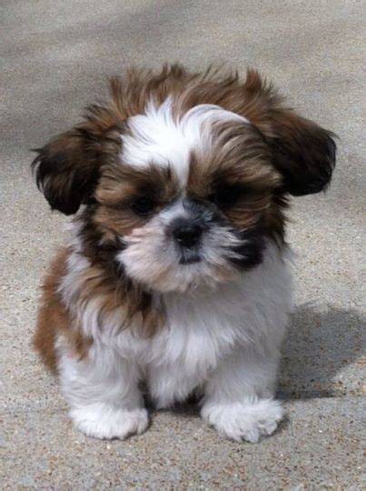 shih tzu items quot yazzy quot is a puppy from ridge and the photo was stolen by a teechip to sell