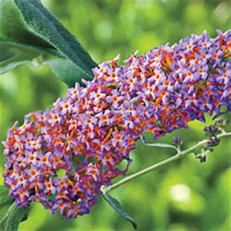 multi colored butterfly bush lavender garden cottage flower of the day blueberry