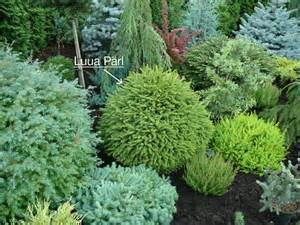 dwarf conifers i love the different blues and greens and yellows not to mention the beautiful