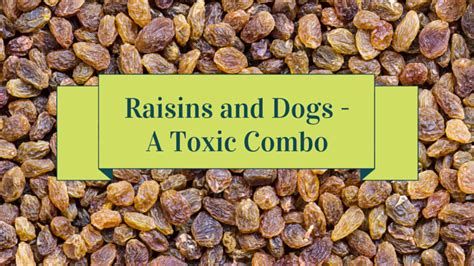 are raisins for dogs can dogs eat raisins smart owners