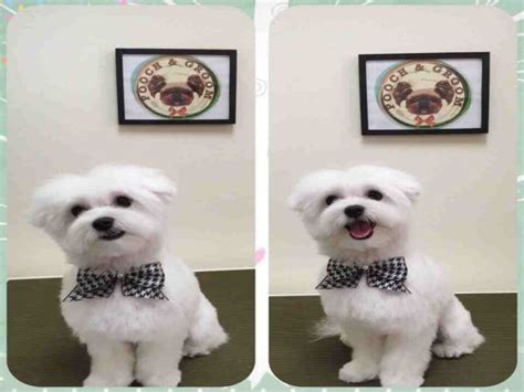 why has my maltese terrier got thin hair 25 best ideas about maltese haircut on pinterest