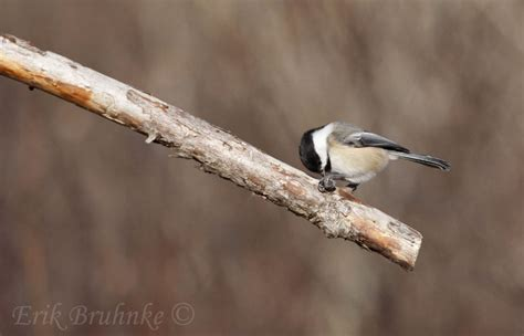 black capped chickadee on branch working hard to get some