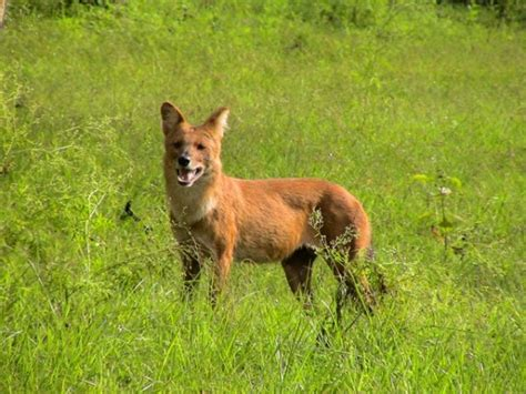 dhole puppy image gallery indian