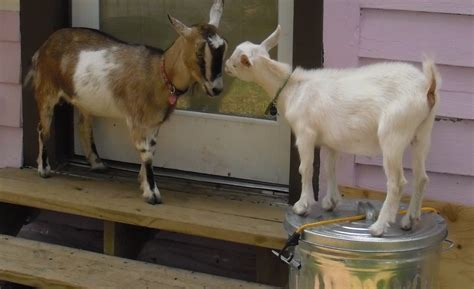 can i have goats in my backyard adventures in backyard agriculture dwarf goats southern