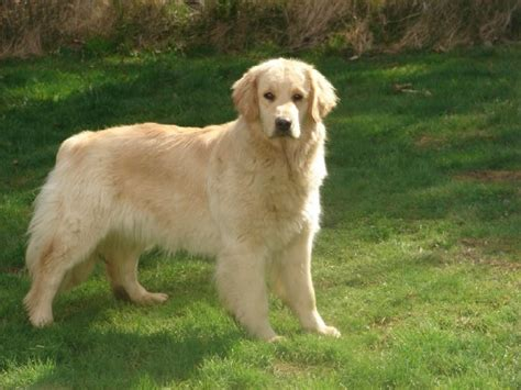 largest golden retriever janina s homepage