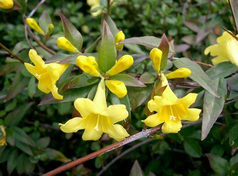 carolina flower carolina jessamine south carolina state flower vine that grows to 20 high extremely fragrant