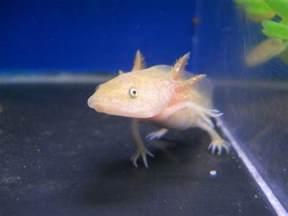 axolotl colors all about axolotls axolotl colours