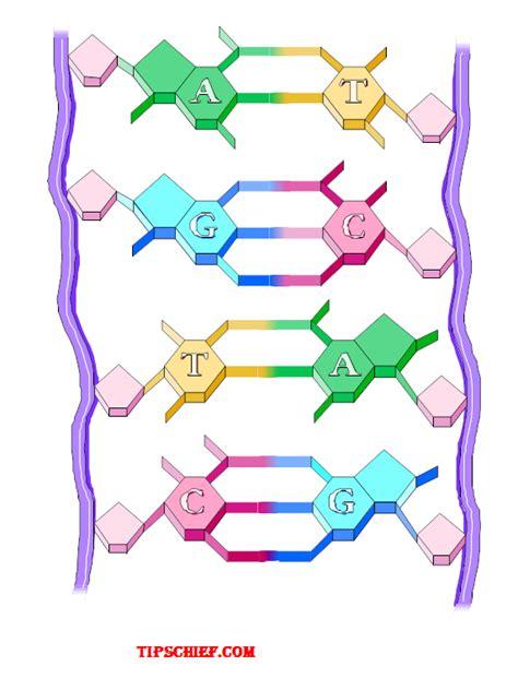 diagram and label a section of dna biology diagram worksheet