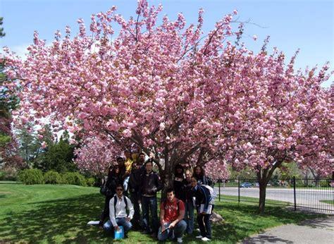 Beli Bibit Bunga Di Indonesia tanaman jepang japanese cherry blossom jual