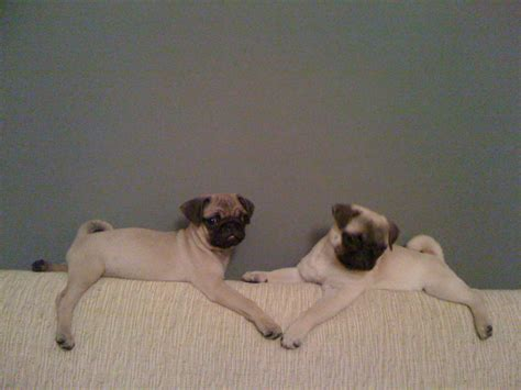 my pug snores so loud frisky pets bobby s pair of pugs frisky