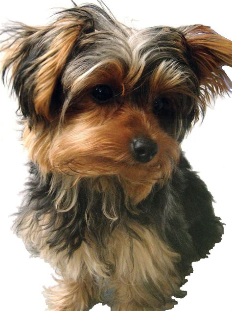 floppy eared yorkies i love floppy eared yorkies all about dogs pinterest