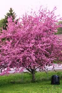 crabapple tree in full bloom by shadyman on deviantart