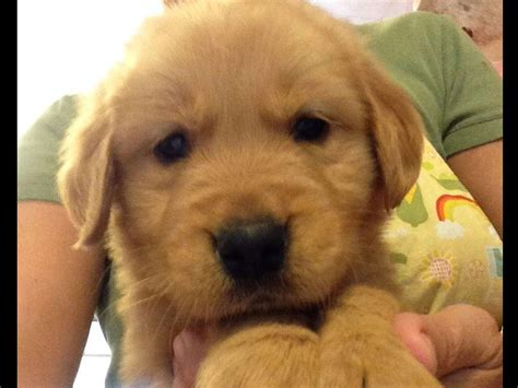 hill golden retrievers golden retrievers golden retriever puppies for sale
