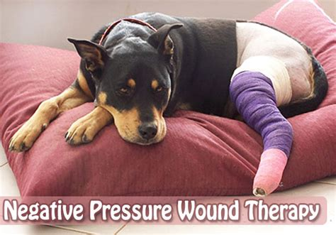 wound care for dogs negative pressure wound therapy a special technique of wound repair in dogs