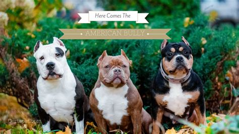 Here Comes the American Bully | CertaPet