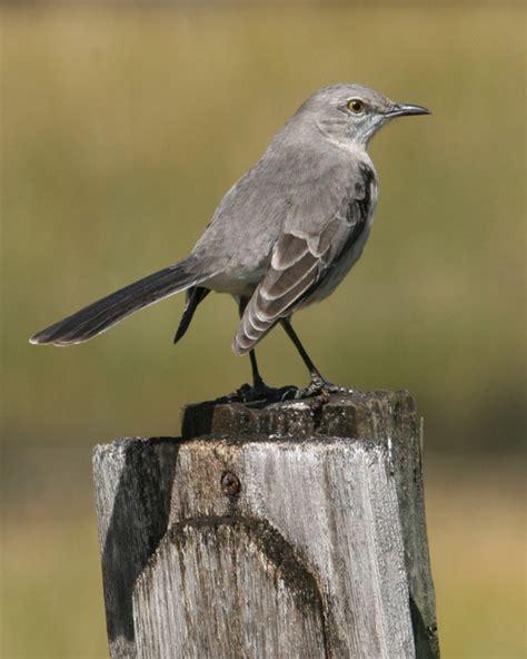 familiar birds of alabama stoschonervo s diary