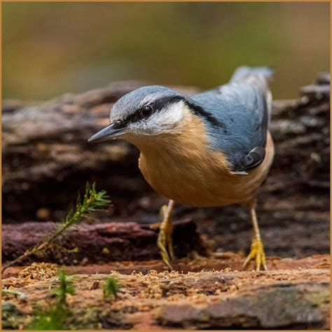 296 best images about nuthatches treecreepers