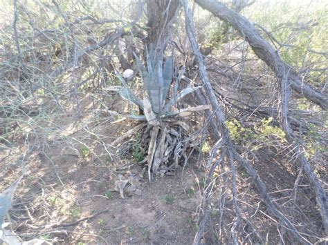 Pima County Search Agave Zebra Agave Agave Zebra 183 Inaturalist Org