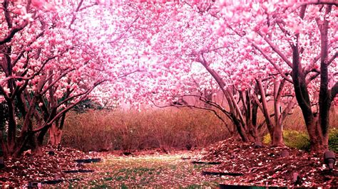 pictures of cherry blossom trees cherry blossom tree for your garden cherry tree