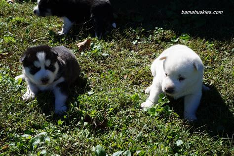 husky puppies for sale in ms s husky puppies 3 weeks 171 siberian husky puppies for sale siberian husky