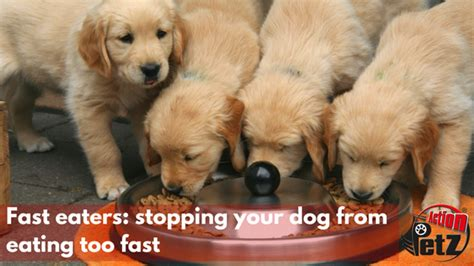 puppy eats fast fast eaters stopping your from fast petz