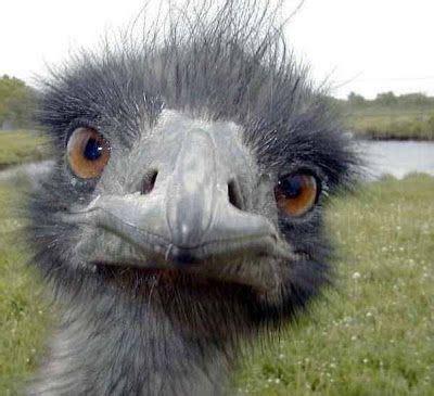 ostrich im  checking      laugh