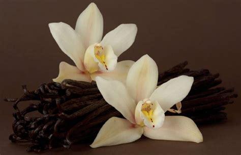 fiore di vaniglia pianta vaniglia aromatiche pianta di vaniglia