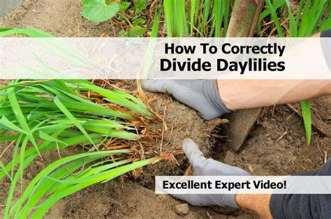 how to correctly divide daylilies