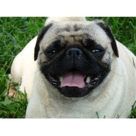 pug puppies for sale in arkansas s happy pugs pug breeder in hill tennessee