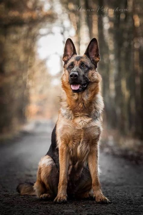 best looking dogs 12 reasons german shepherds are the best looking dogs in the world