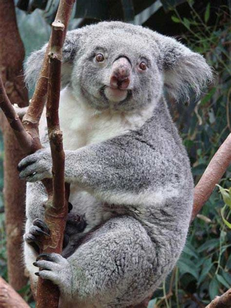 female koala pouch for how long a female koala can give birth to the koala joeys