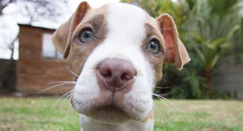 Pictures Of A Nose Pitbull