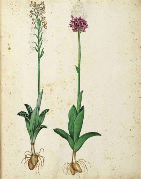 botanical flower carnation italian 11 free botanical prints botanical flower hyacinth italian botanical illustration