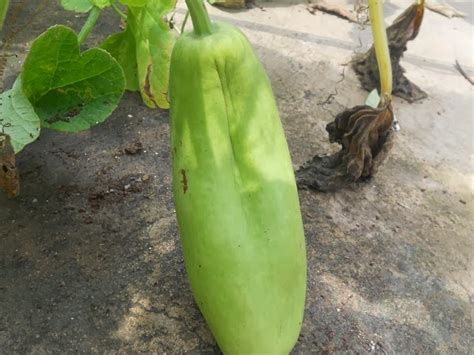 bottle gourd plant diseases a pinch of basil growing bottle gourd lauki at home