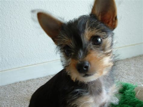chihuahua pug yorkie mix rufus the rat terrier rat terrier hybrid at 7 breeds picture