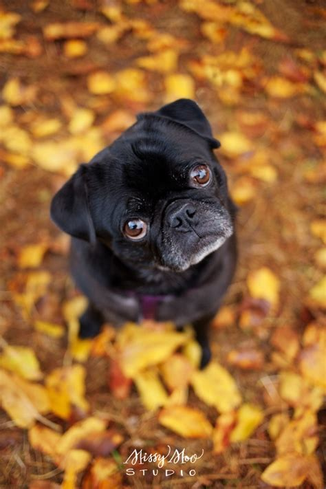 confused pug 103 best images about dogs pugs on hula dancers puppy costume and black pug