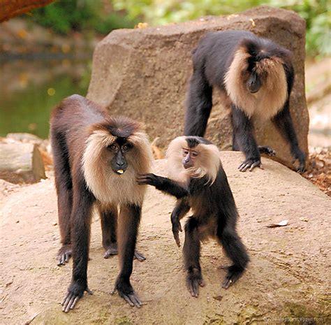 sedere rosso equivoci tra babbuini il o una babbuina