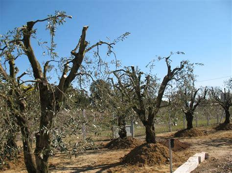 potatura olivo in vaso potare l olivo potatura come potare l olivo