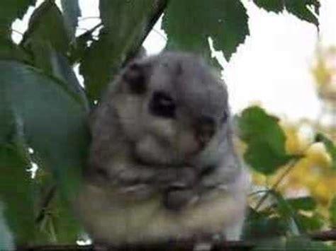 scoiattolo volante giapponese lendorav flying squirrel