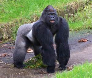 gorillas pictures for gorillas photos pictures of gorilla animal photo