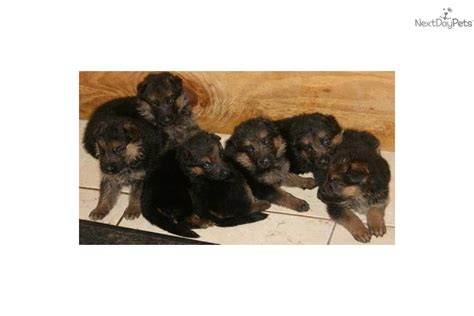 german shepherd puppies for sale in miami puppies for sale in miami florida puppies for sale in fort lauderdale breeds picture