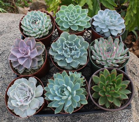 succulents that don t need light caring for succulents interior design tip