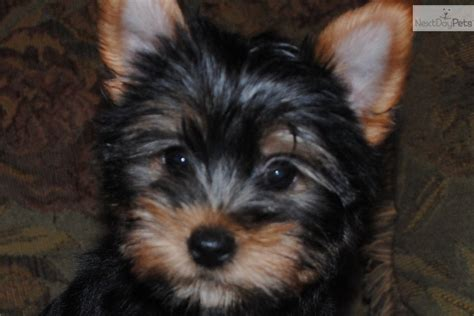 yorkie puppies indiana yorkie puppies indianapolis breeds picture