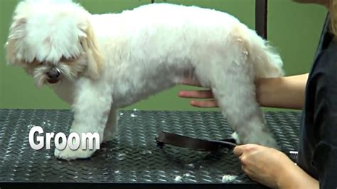 how to puppy cut shih tzu how to groom a shih tzu puppy cut do it yourself grooming