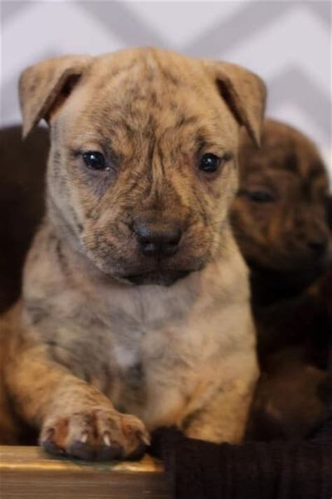 brindle pit puppy pitbull puppies types temperament how to s