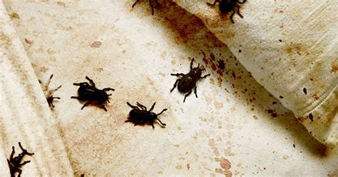 checking for bed bugs easy ways to check your room for signs of bed bugs