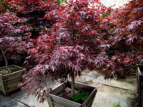yamaguchi bonsai nursery trees shrubs