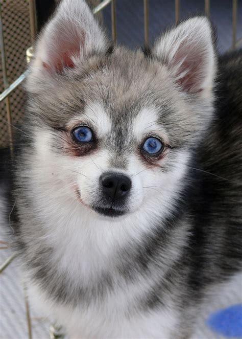 mini husky fuzzy today