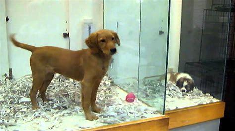 golden retriever as a pet golden retriever at pet store