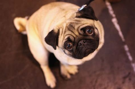 pug inbreeding boycott crufts parade of freaks call from animal charity who claim pedigree